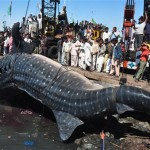 The Giant Whale Shark in Karachi, Pakistan